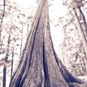 Sylvania Cedar